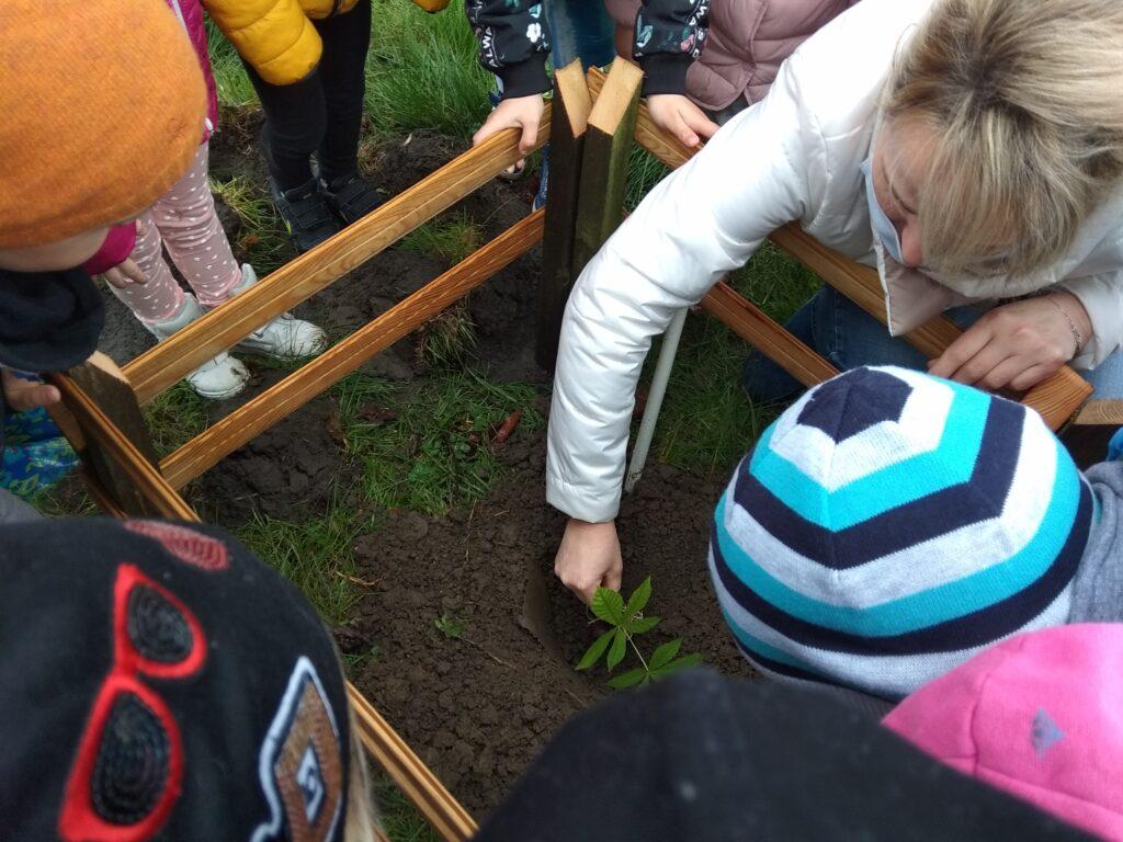 wychowawca sadzi do ziemi sadzonkę kasztana